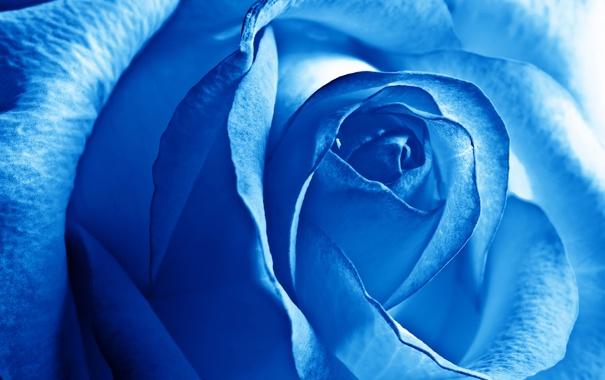 Фото обои Роза, Бутон, Лепестки, Голубая Роза