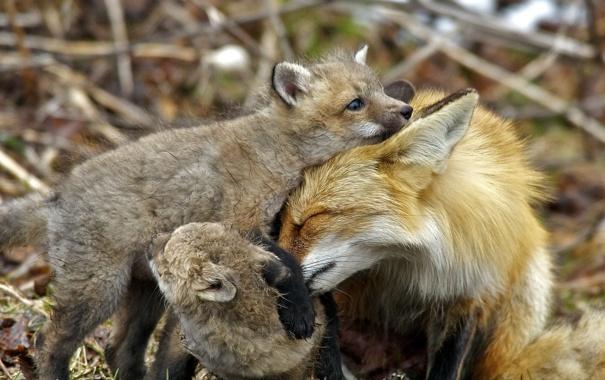 Фото обои природа, фон, лисы