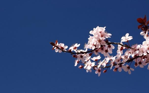 Фото обои цвет, ветка, сакура