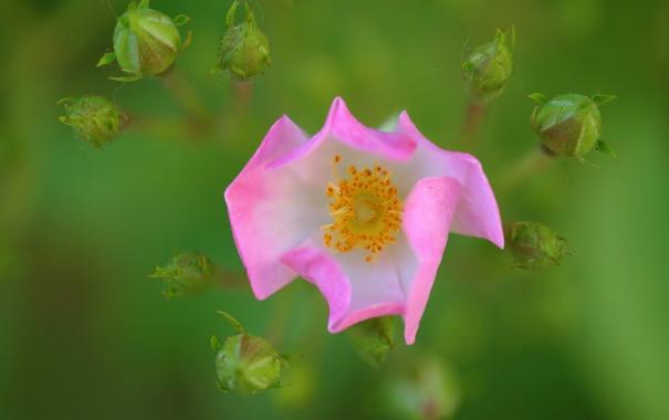 Фото обои природа, цветок, растение, лепестки, макро