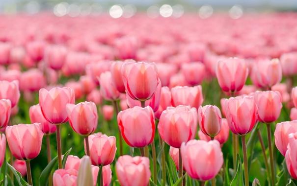 Фото обои цветы, природа, весна, тюльпаны