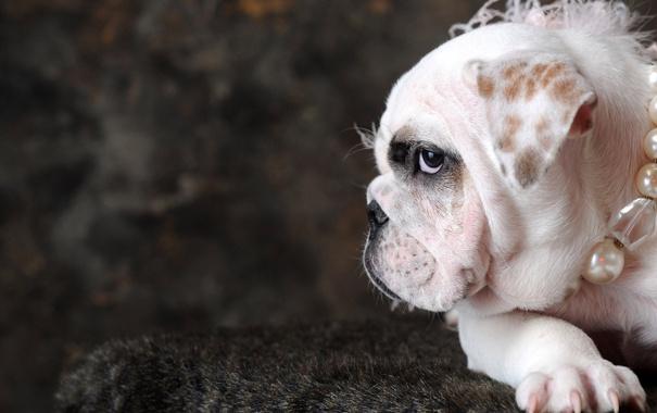 Фото обои собака, бусы, белая, знаю, породу