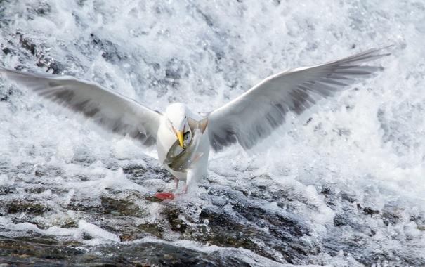 Фото обои природа, река, птица, рыба