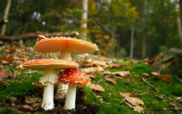 Фото обои природа, лес, грибы