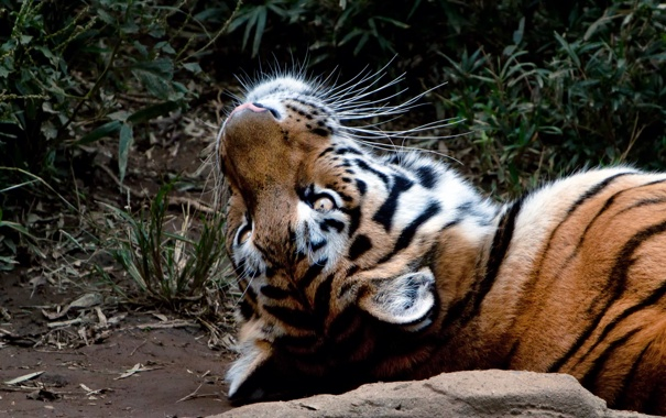 Фото обои кошка, взгляд, морда, тигр