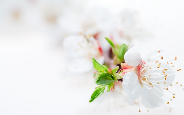 Фото обои цветок, нежность, лепестки, листики, хрупкость