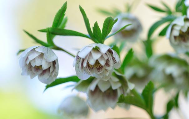 Фото обои цветы, ветка, листочки, Морозник, Helleborus