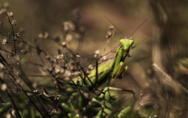 Фото обои трава, зеленый, растения, богомол, насекомое, прячется