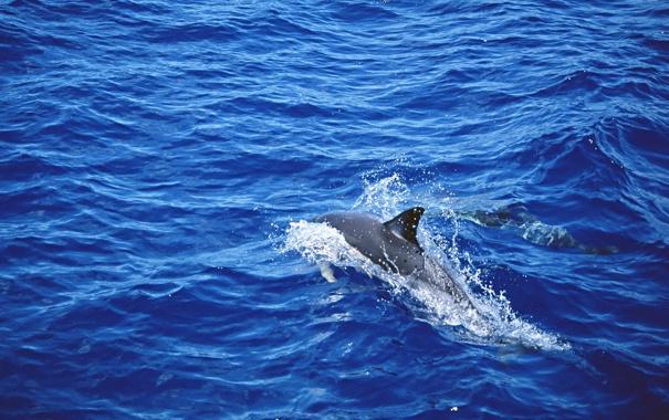 Фото обои море, волны, вода, дельфин, всплески