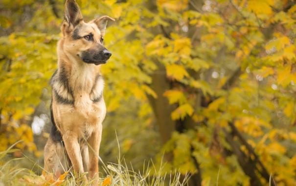 Фото обои осень, взгляд, друг, собака