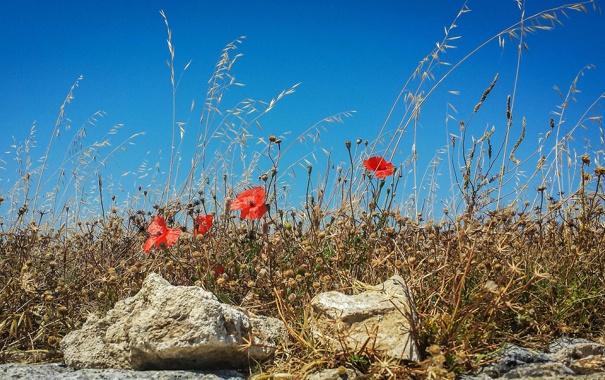 Фото обои поле, небо, трава, цветы, камни, маки, луг
