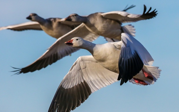 Фото обои nature, birds, Snow Geese