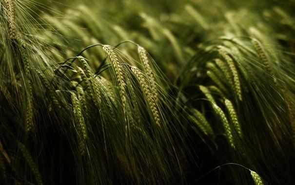 Фото обои поле, макро, природа, колоски