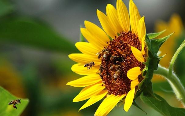 Фото обои лето, солнце, настроение, подсолнух, пчёлы
