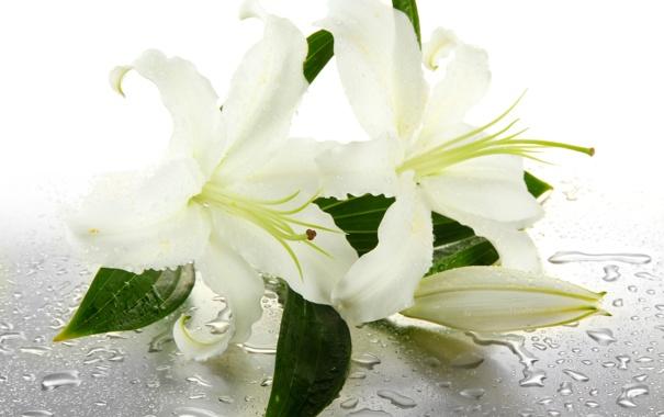 Фото обои вода, цветы, капельки, бутоны, water, flowers, листики