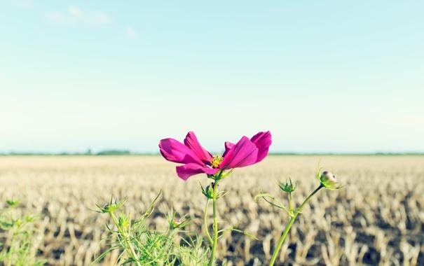 Фото обои розовый, цветок, космея, природа, листья, макро, цветы