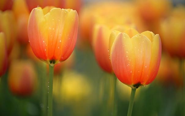 Фото обои вода, капли, макро, роса, лепестки, тюльпаны