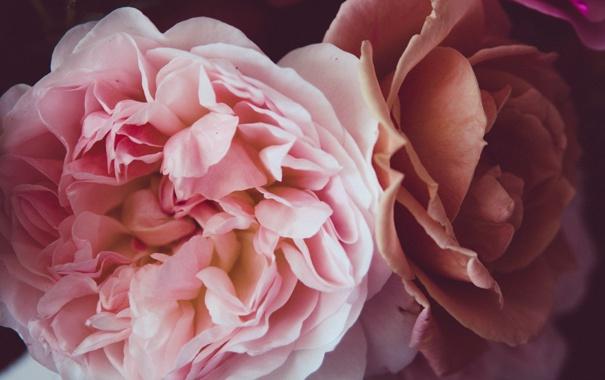 Фото обои цветы, розовая, розы