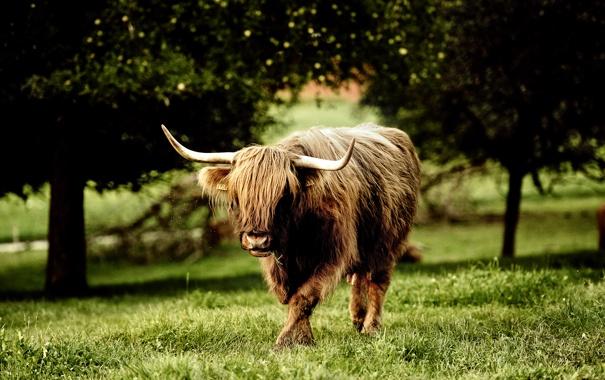 Фото обои бык, Beef Jerky Teriyaki, вайоминг