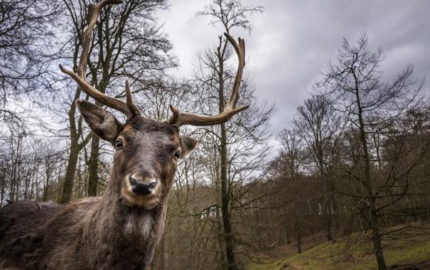 Фото обои взгляд, олень, рога
