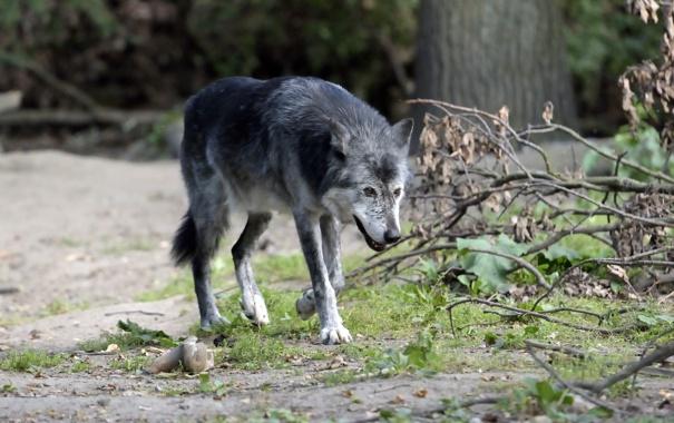 Фото обои трава, ветки, чёрный, волк, хищник
