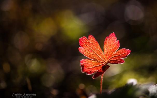 Фото обои осень, макро, свет, красный, листок