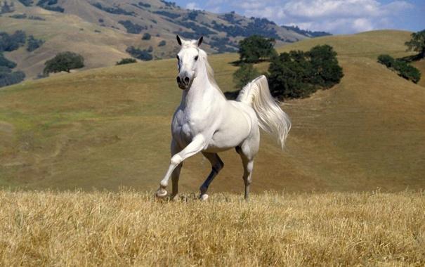 Фото обои трава, горы, Лошадь, белоя