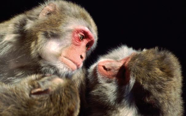 Фото обои две, обезьяны, мартышки