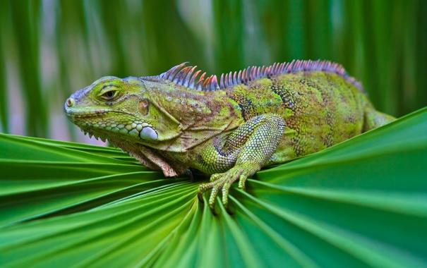Фото обои зелень, взгляд, чешуя, ящерица, ткань, игуана
