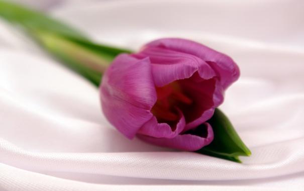 Фото обои цветок, фиолетовый, цветы, тюльпан