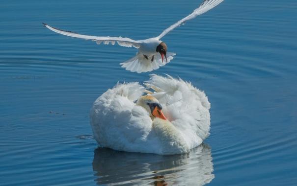 Фото обои вода, птицы, чайка, лебедь