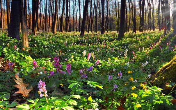 Фото обои лес, солнце, деревья, цветы, природа, мох, высокие