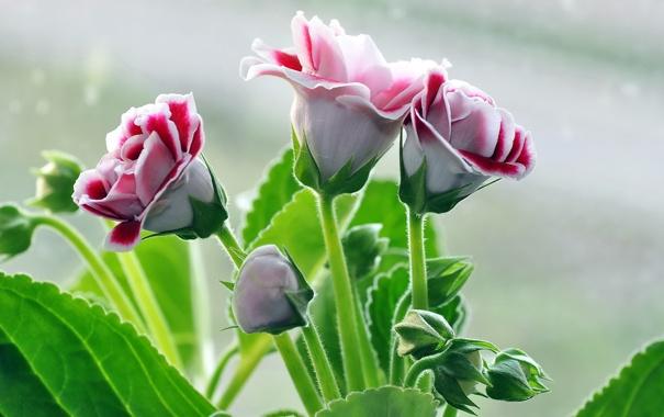 Фото обои цветы, фон, глоксинии
