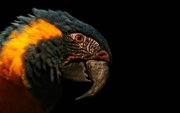 Фото обои синий, красный, говорящий, папугай