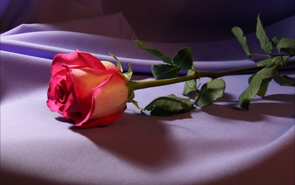 Фото обои роза, цветок, свет, ткань, цветы