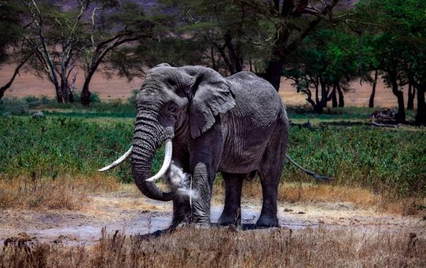 Фото обои слон, африканский, Кения