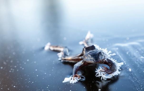 Фото обои природа, фон, Frozen Frog