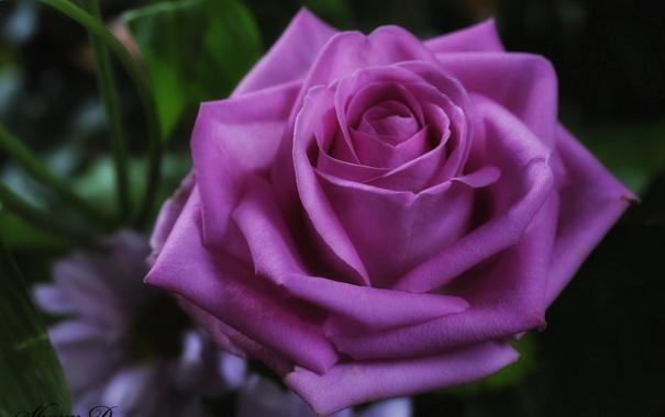 Фото обои роза, макро, бутон