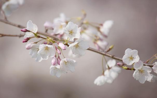 Фото обои ветка, вишня, цветы