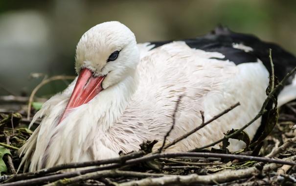 Фото обои природа, птица, аист