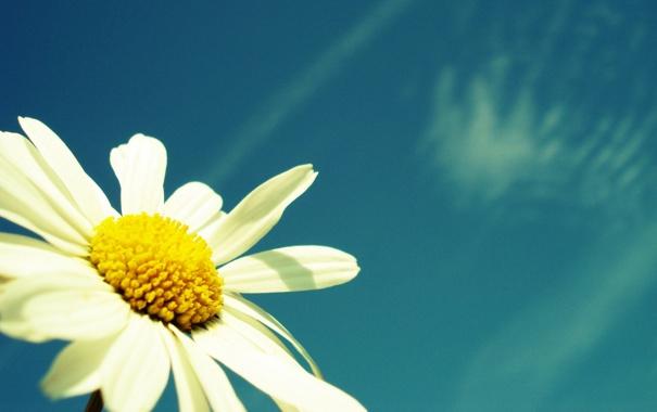 Фото обои цветок, макро, природа, растения, ромашка, небо. лето