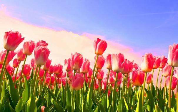 Фото обои цветок, цветы, стебли, тюльпан, весна, тюльпаны, бутоны