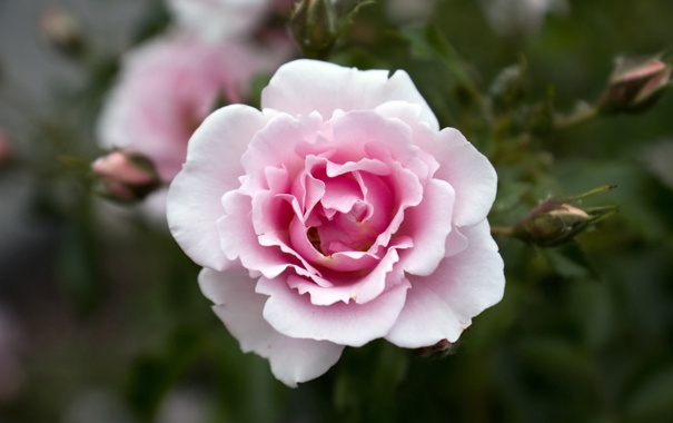 Фото обои цветок, розовая, роза, красота, лепестки