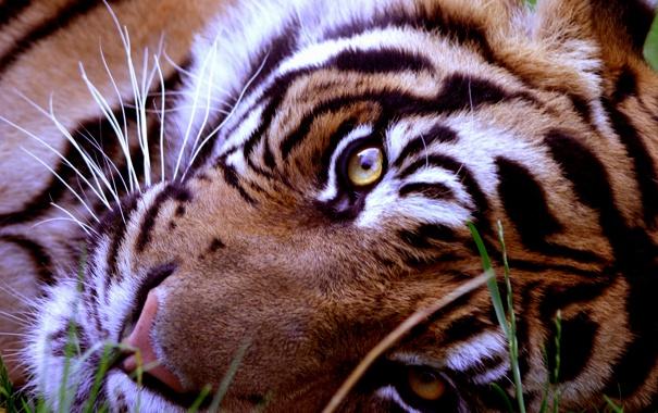 Фото обои взгляд, морда, животное, хищник, лежит, тирг