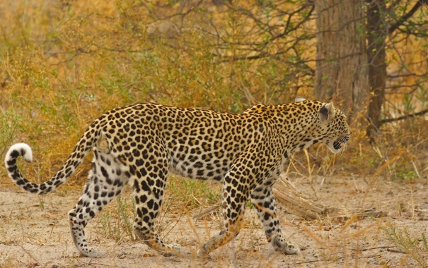 Фото обои хищник, пятна, леопард, дикая кошка