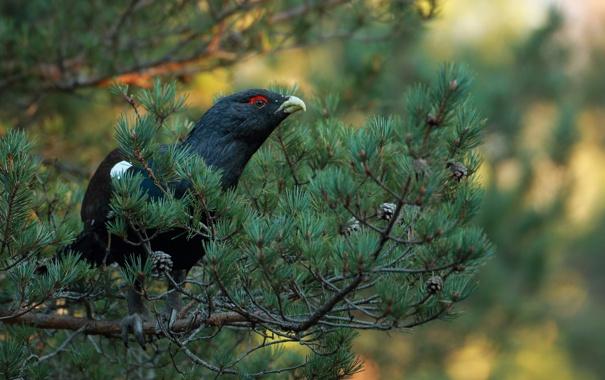 Фото обои дерево, птица, ветка, глухарь, хвойная