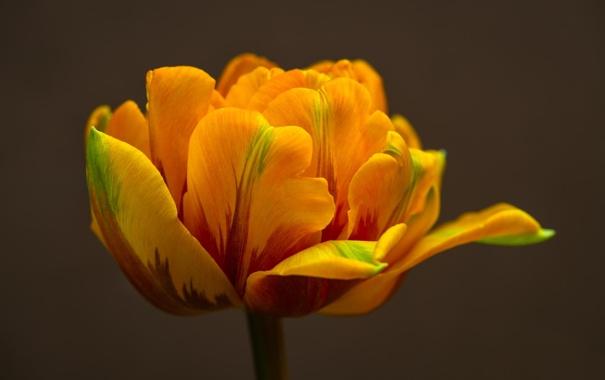 Фото обои макро, желтый, тюльпан