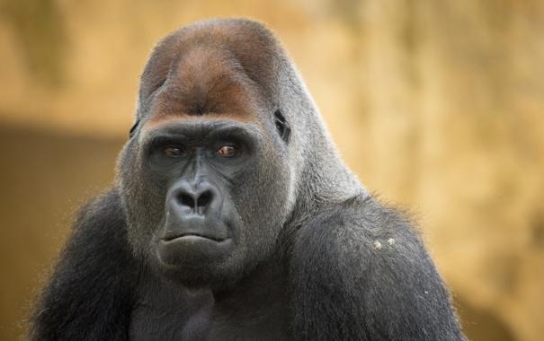 Фото обои фон, Gorilla, взгляд