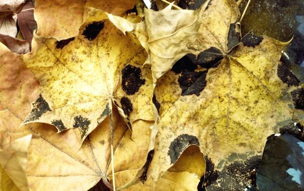 Фото обои осень, листья, вода, макро, water, autumn, leaves
