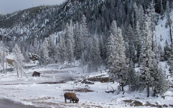 Фото обои animals, wildlife, Yellowstone National Park, Montana, Bison